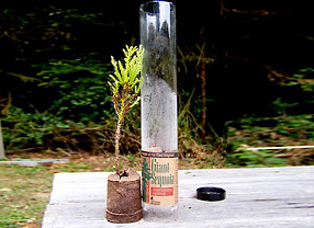 Sierra Redwood Seedling